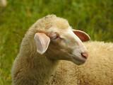 Sheep - 164967066