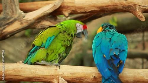 Staande foto Kameleon Parrots Ara