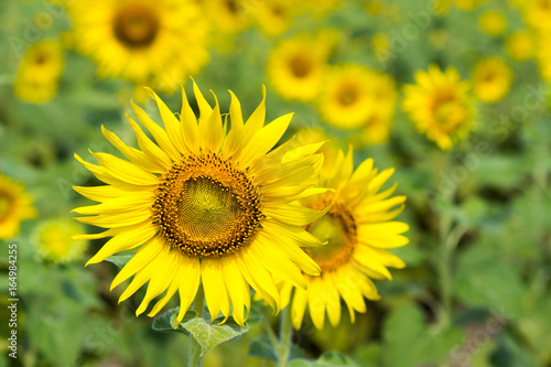 Tuinposter Geel Beautiful landscape with sunflower field