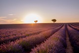Stunning landscape with lavender field at sunset in Provence France
