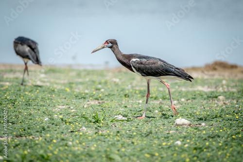 Abdim's stork walking in the grass.