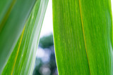 Bamboo leaf texture , green bamboo leaves Background