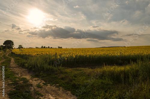 sunflower road outdoor in summer