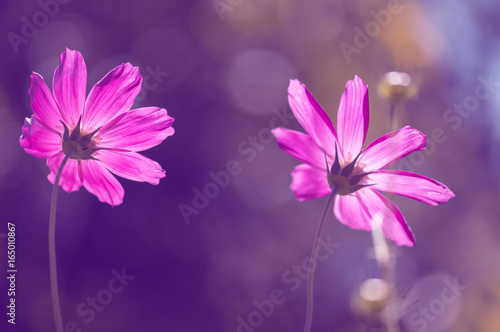 Foto op Canvas Violet Pink flowers in the sunlight. Soft artistic image