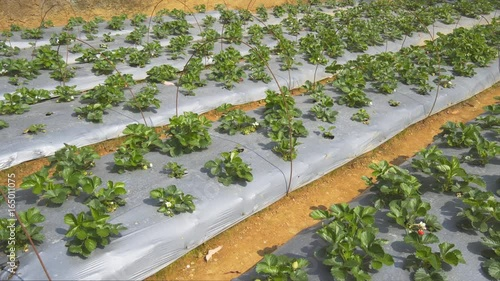 Strawberry Plants on a Farm in the Mountains of Sri Lanka