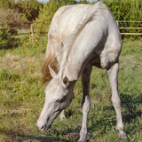 White horse standing in the paddock in the summer.