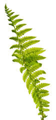 one fern leaf isolated on white background