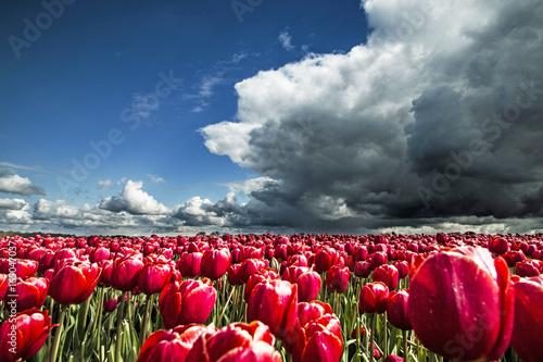 Tulips before Hailstorm