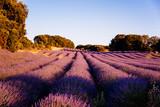 Beautiful image of lavender fields. Summer sunset landscape