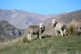Moutons Nouvelle Zelande - 165069062