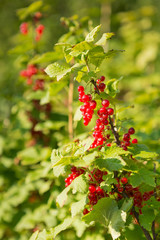 Red currant berries on a bush