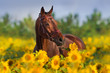 Bay horse in bridle in sunflowers - 165082248