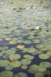 Water Lilies/Lily Pads
