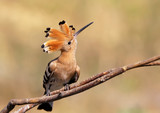 Hoopoe sitting on the branch  - 165091800