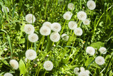 some dandelions on a spring meadow