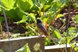 Rougequeue à front blanc (Phoenicurus phoenicurus) - 165108418