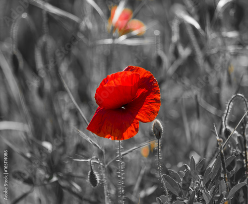 Foto op Canvas Klaprozen Flowers Red poppies blossom on wild field