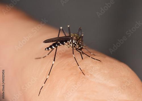 Mücke stechend Stechmücke, Gelse, Asiatische Tigermücke, Tigermoskito, Aedes albopictus - 165125456