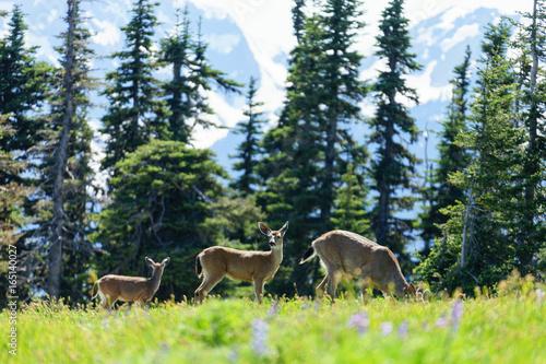 Wildlife (Deer, bird, eagle, seagull) and Olympic National Park