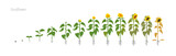 Sunflower plant. Helianthus annuus. Growth stages vector illustration. - 165162445