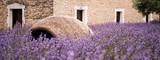 Lavanda in Provenza - Francia - 165169065