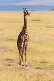 Giraffe walking on savannah
