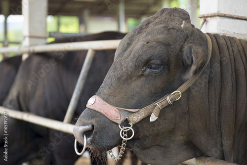 Black Angus cow in farm. Poster