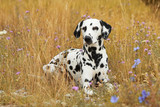 Dalmatian dog is lying in a colorful flowerfield