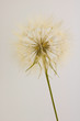 dry dandelion isolated, vertical - 165205862