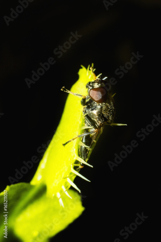 venus flytrap catching fly, in closeup, isolated on black background Poster