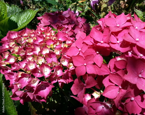 Foto op Canvas Candy roze Red Hydrangea Blossoms