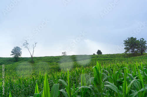 Corn flower in corn field in rainy season,Wait for the price