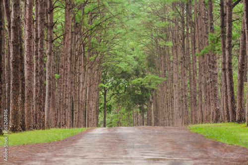 Foto op Canvas Cappuccino Beautiful landscape of Pine tree on tropical forest in the morning