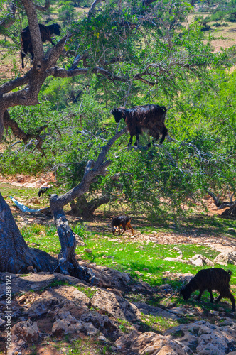 Papiers peints Maroc herd of sheep which is grazed on trees in mountains of the Moroccan atlas