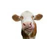 Leinwanddruck Bild - Freigestellte Kuh mit Zunge in der Nase