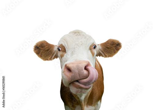 Leinwanddruck Bild Freigestellte Kuh mit Zunge in der Nase