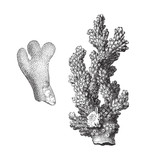 Coral - Porites furcatus and Madrepora verrucosa - vintage illustration
