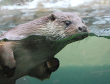 The European Otter - Lutra lutra swimming and playing on flowing river. This animal is dangerous pest for fish farm and aquaculture. - 165309057