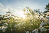 cosmos flower in fields with sunlight at sunset.
