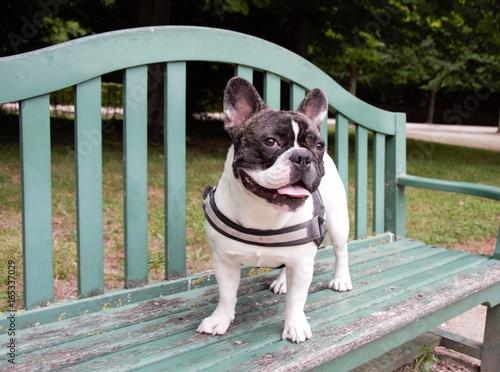 Staande foto Franse bulldog Chien bouledogue français sur un banc