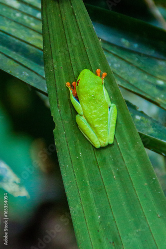 Red-eyed tree frog (Agalychnis callidryas) in a forest near La Fortuna, Costa Rica