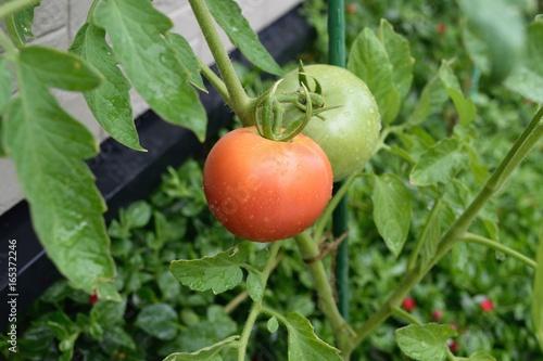 家庭菜園:トマト Plakát