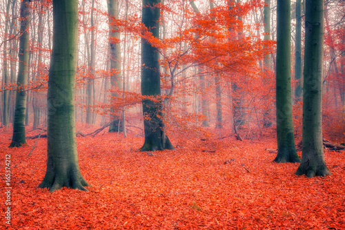 Colorful foliage in the foggy autumn forest