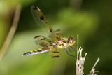 Wandering glider dragonfly perched on a twig in Connecticut. - 165378607
