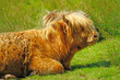 Brown hairy Highland cow in Scotland
