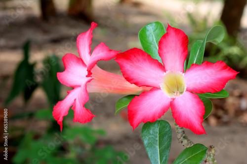 Azalea flowers, beautiful pink flower in garden.