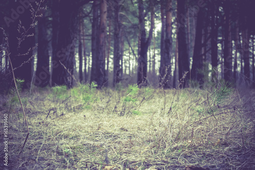 Tuinposter Aubergine Morning Pine Forest Retro