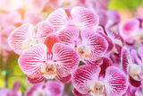 Fototapety Beautiful orchid flower in the garden at winter or spring day for postcard, beauty and agriculture idea concept design. Orchids are export business products of Thailand that make a lot of money.