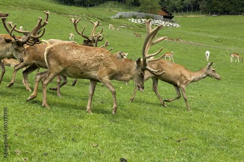Rothirsch, Cervus elaphus, Rotwild, Hirsch