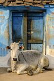 Cow at the door